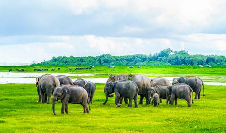 View on Herd of elephants in Kaudulla national park, Sri Lanka