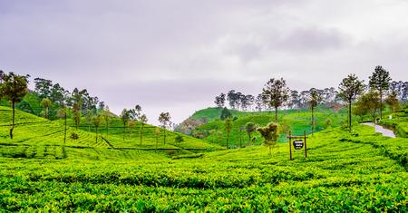 Tea Plantation next to Haputale, Sri Lanka