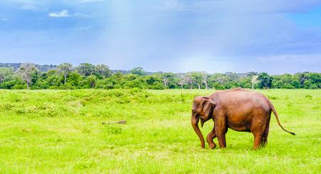 View on elephant in Kaudulla national park, Sri Lanka Stock Photo