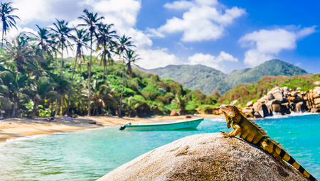 Iguana on a rock in national park Tayrona in Colombia