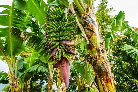 Banana plant next to the village of Jardin, Colombia 写真素材 - 129980256