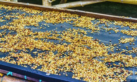 Coffee beans drying near Salento Antioquia, Colombia Stock Photo
