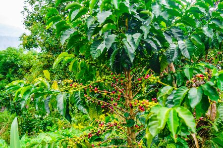 Red and Green Organic Coffee Fruits On Branches next to villgae Jardin, Colombia Banco de Imagens