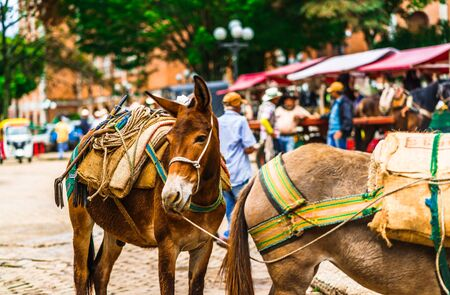 Mules in the colonial village of Jerico, Colombia