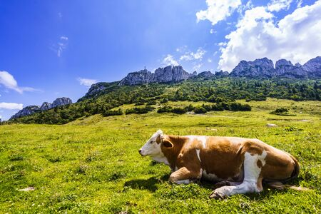 View on cows in front of Kampenwand muntain in Bavarian Alps in Summer
