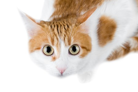 cute red and white cat isolated