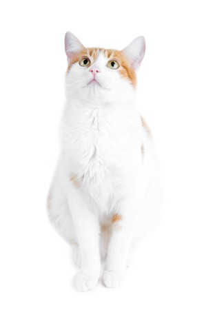 cute red and white curious cat isolated
