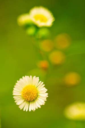 Field flower Stock Photo - 8261661
