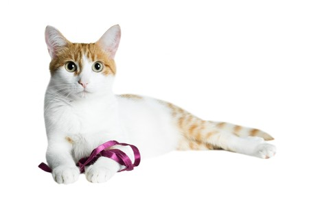 red and white cat with purple ribbon isolated