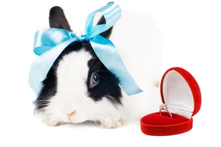 rabbit with blue ribbon and Wedding ring in case isolated on white background Stock Photo