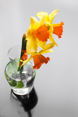 yellow narcissus in vase on glossy background Stock Photo - 12815714