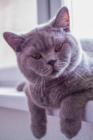 catlike: Gray cat is sitting near the window