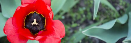 Beautiful tulip flower close-up.
