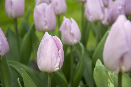 Beautiful tulips during the flowering period. Hybrid variety.