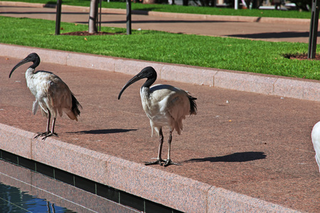 Ibis bird in Hyde-park of Sydney, Australia