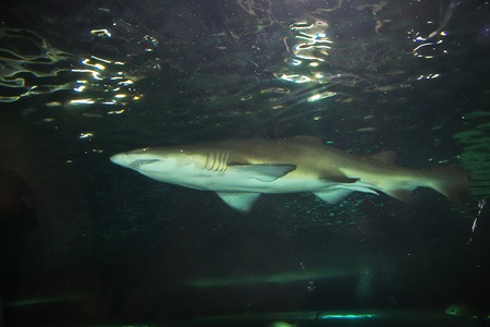 Aquarium with great white shark in Sydney, Australia