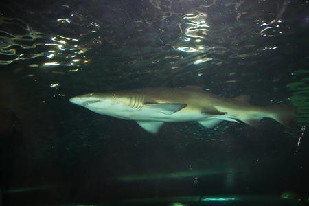 Aquarium with great white shark in Sydney, Australia 免版税图像 - 122011804