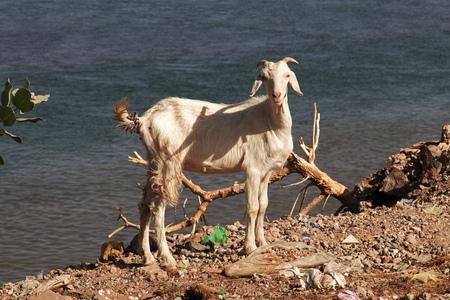 Goat by the Nile river, Khartoum, Sudan