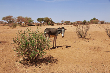 Donkey in the Sahara desert 免版税图像