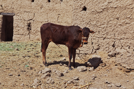 Cow in nubia