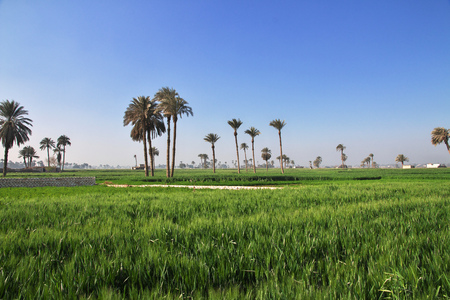 Papyrus fields in Amarna, Egypt