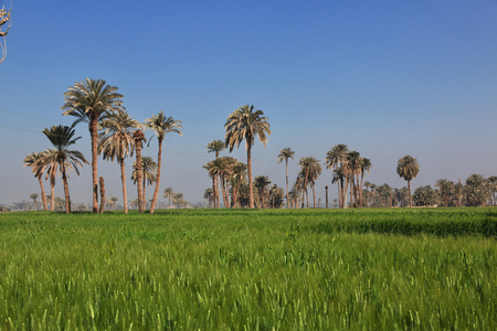 Papyrus field in Amarna, Egypt