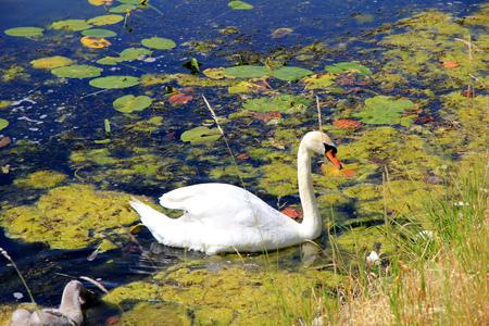 Swan in Copenhagen city, Denmark Stock Photo