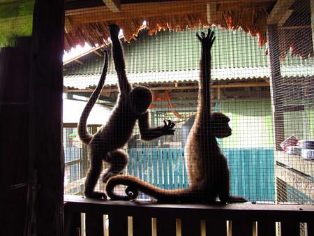 Singe dans le fleuve Amazone, Pérou