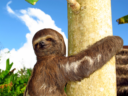 Sloth on Amazon river, Peru