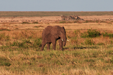 Elephant on savanna in Kenia and Tanzania, Africa