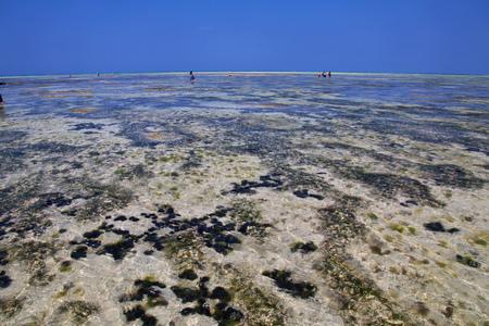Sea urchin at low tide on Zanzibar, Indian ocean