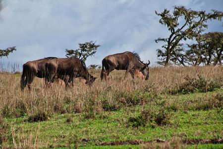 Wildebeest on safari in Kenia and Tanzania, Africa Stockfoto