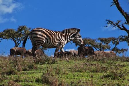 Zebra on safari in Kenia and Tanzania, Africa Stock Photo