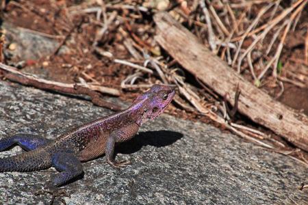 Lizard on safari in Kenia and Tanzania, Africa