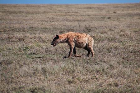 Hyena on safari in Kenia and Tanzania, Africa