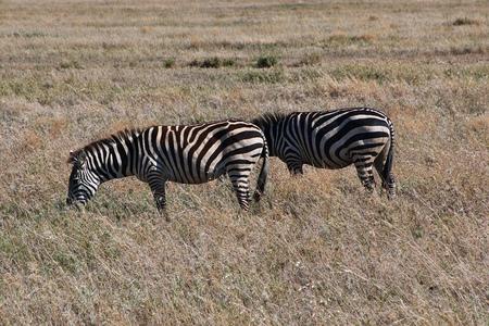 Zebra on safari in Kenia and Tanzania, Africa