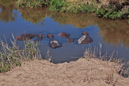 Hippo, Hippopotamus on safari in Kenia and Tanzania, Africa 스톡 콘텐츠