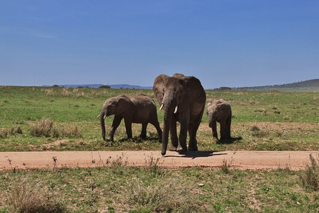 Elephant on safari in Kenia and Tanzania, Africa Stock Photo