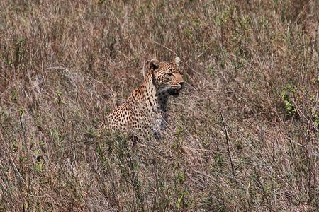 Leopard on safari in Kenia and Tanzania, Africa