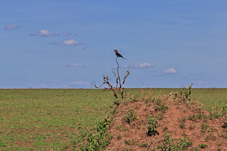 Bird on safari in Kenia and Tanzania, Africa