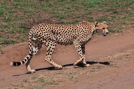 Cheetah on safari in Kenia and Tanzania, Africa