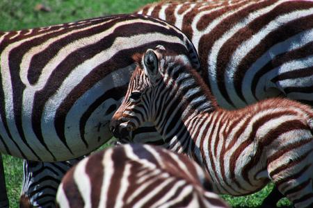 Zebra on safari in Kenia and Tanzania, Africa Stockfoto