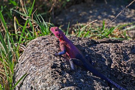 Lizard in village of Bushmen, Africa Stock Photo