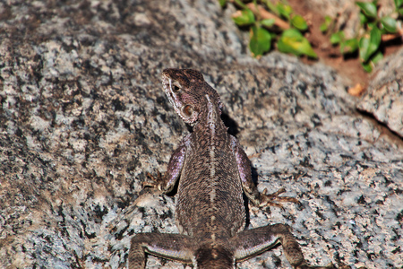 Lizard in village of Bushmen, Africa Stok Fotoğraf