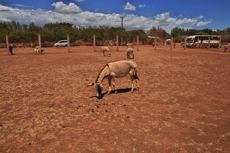 Donkey on the local market in Africa, Moshi Stock Photo