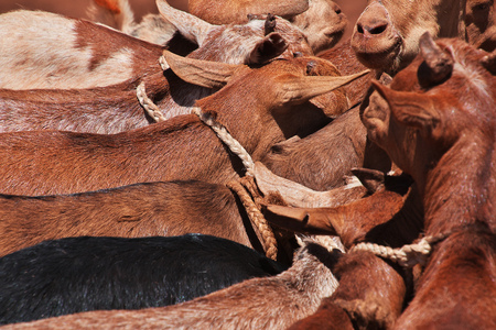 Goats on the local market in Africa, Moshi Stock Photo - 124324237