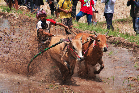 Padang, Indonesia - 30 Jul 2016. Festival Pacu Jawi (The bull racing) in the village close Padang, Indonesia Editorial