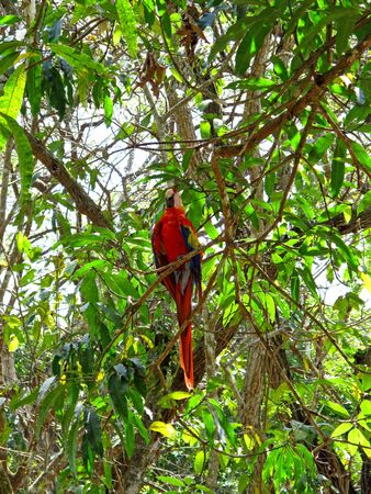The parrot in the forest of Honduras