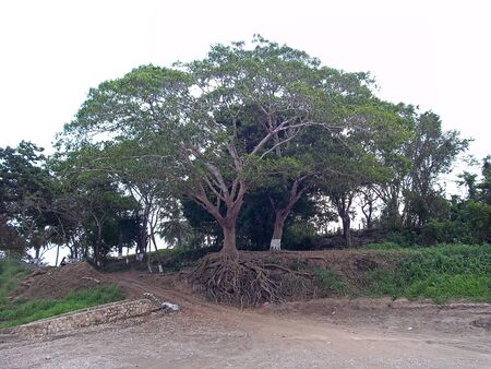 Tree roots in Mexico country