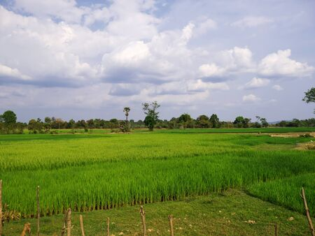 The field of rice, Laos